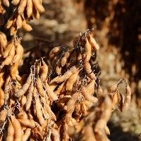 MS: quase metade da safra de soja já foi comercializada