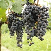 Qualidade da uva e preço pago ao produtor ajudam a compensar perdas pela estiagem